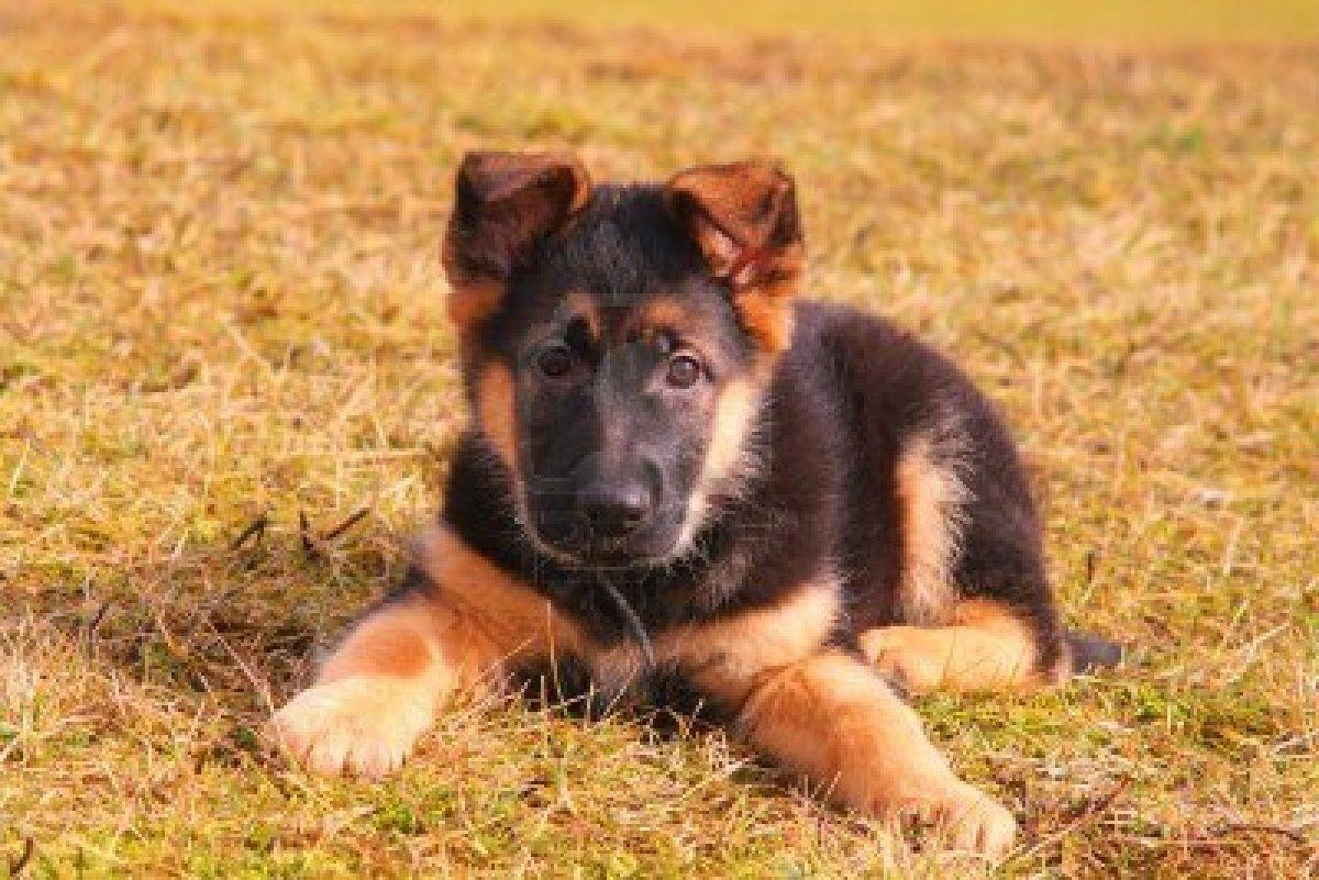 german shepherds puppies - Google Search | German ...