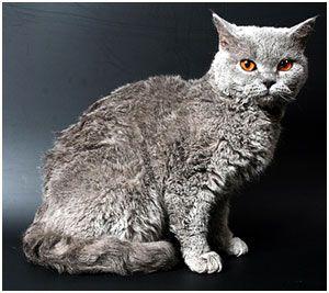 Selkirk Rex Sh Kurzhaar Selkirk Rex Animals Kitty