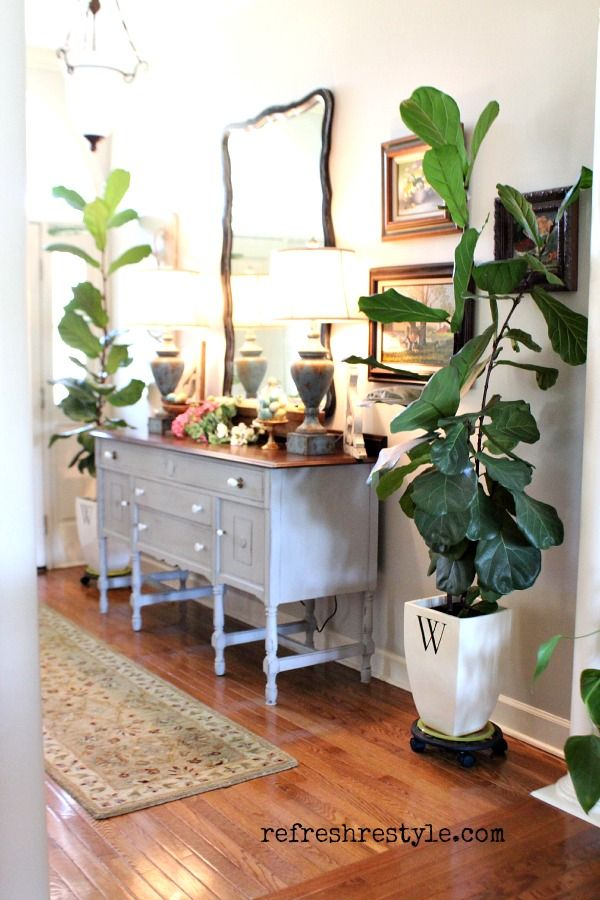 Fiddle leaf Fig tree -  great house plant