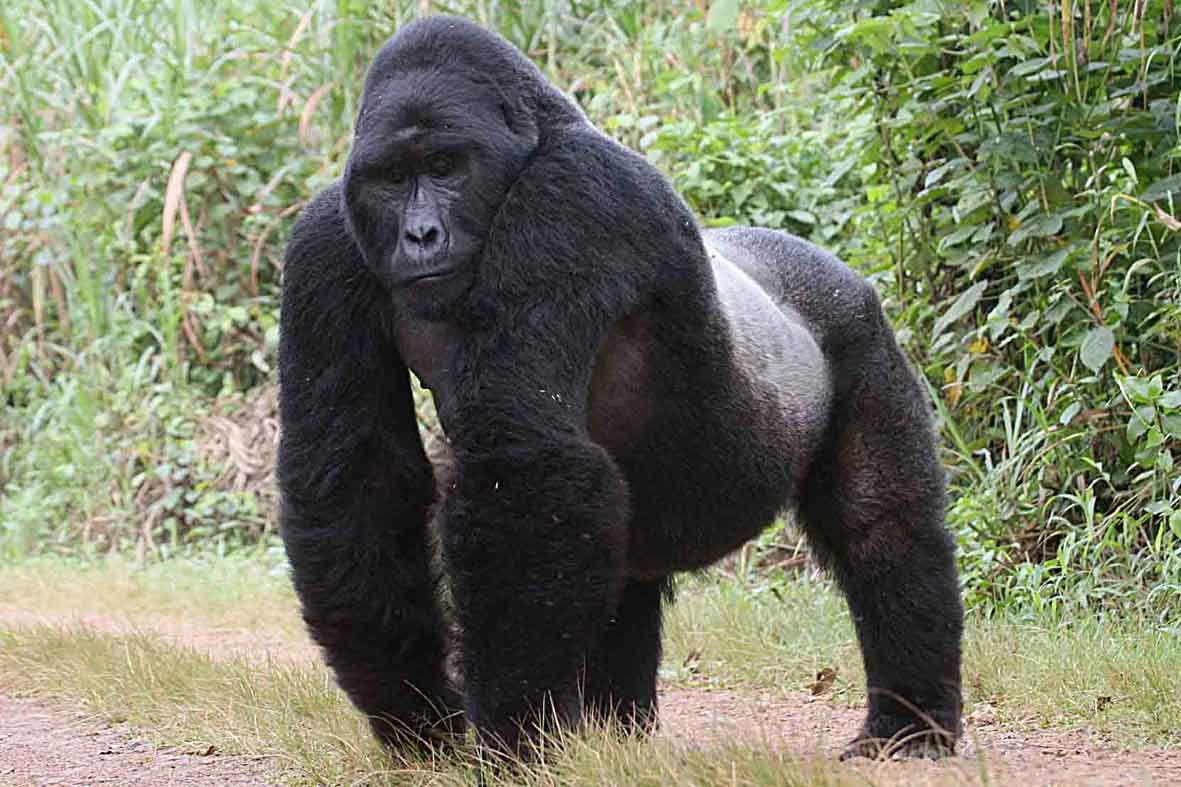 Unlocking The Genes of Mountain Gorillas Could Help Fight ...