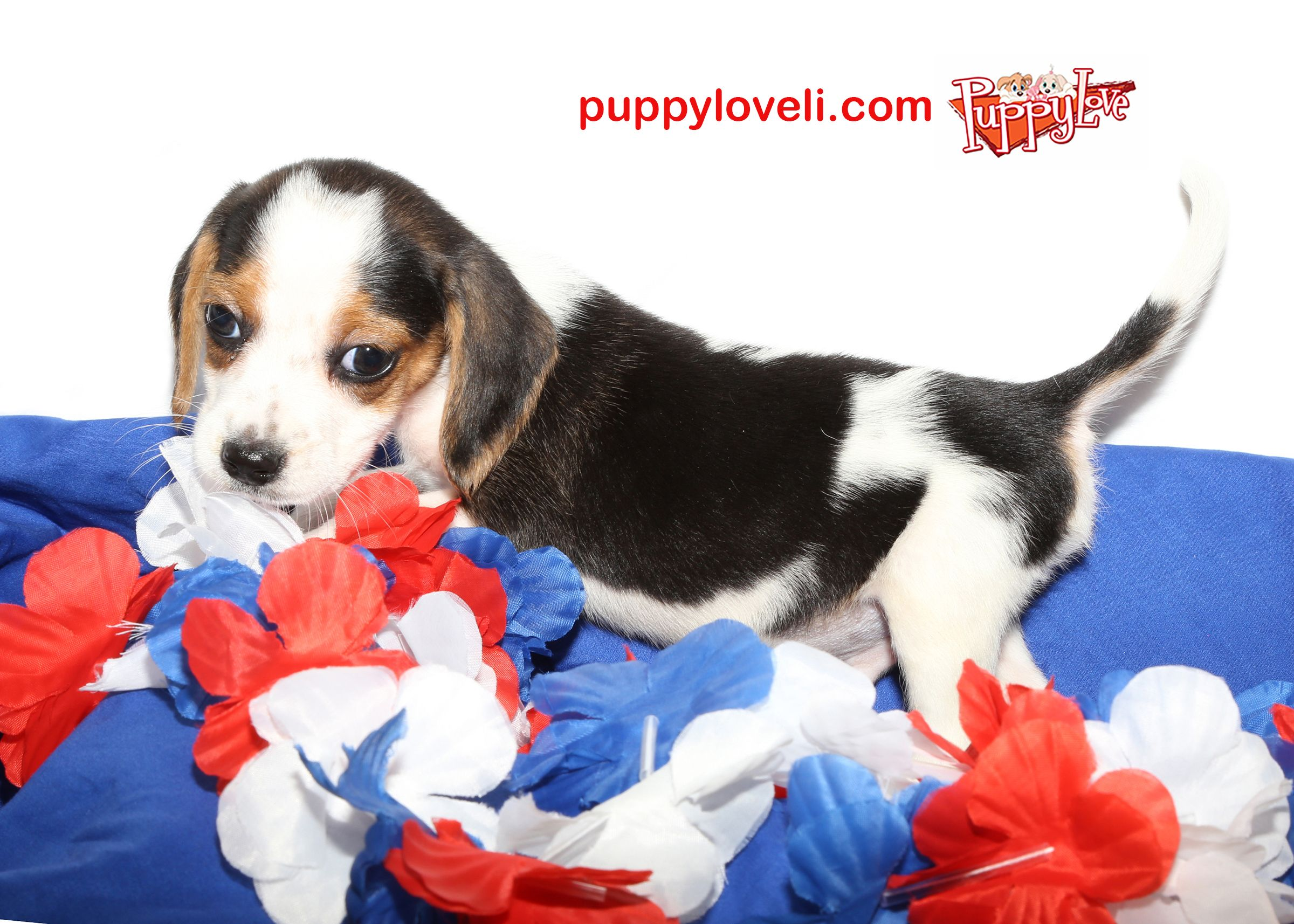 Beagle For Sale On Long Island Come To Puppy Love In Franklin