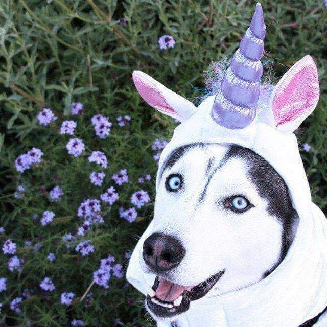 The Legendary Huskycorn With Images Best Dog Costumes Dog