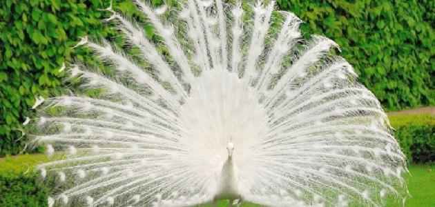 معلومات عن الطاووس الأبيض Plants Flowers Dandelion