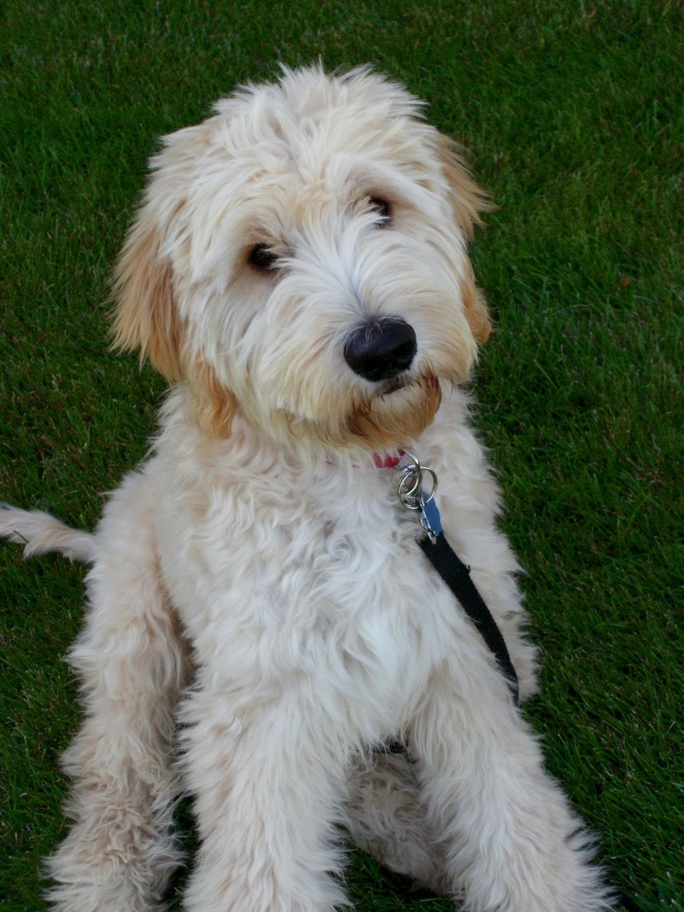 goldendoodle haircuts styles mini goldendoodle grooming styles search doggie 1521