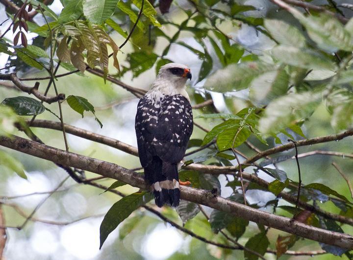 Black-faced Hawk (Leucopternis melanops)