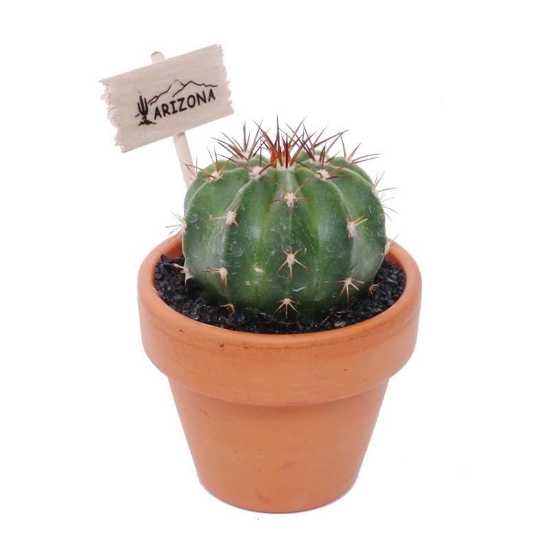 Mini Cactus In Terracotta Mini Cactus Cactus Flower 400 x 300