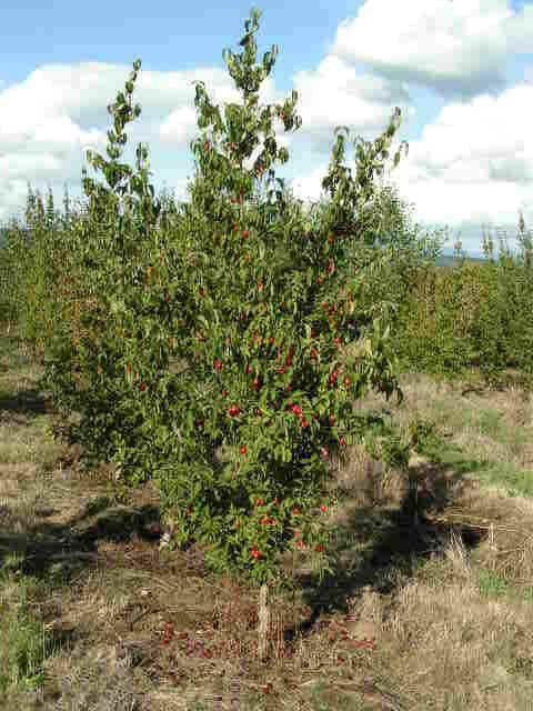 Cherries How To Grow Cherries Luv2garden Com How To Grow Cherries Growing Cherry Trees Fruit Trees