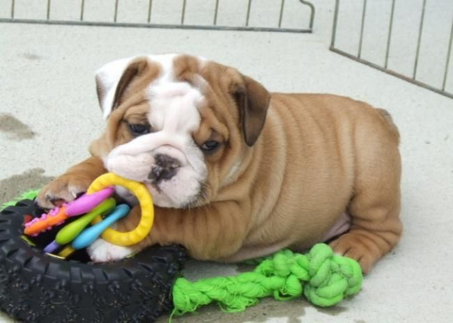 Dogs Classifieds Adorable English Bulldog Puppies For Adoption