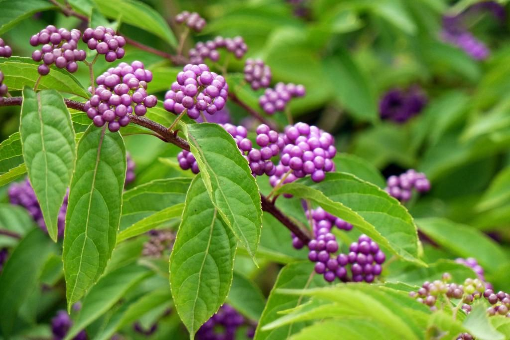 Callicarpa Bodinieri For A Profusion Of Violet Berries In Autumn