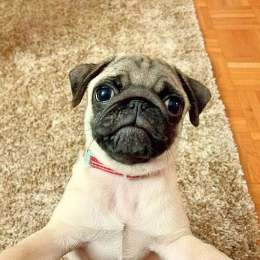 Pug Puppy Friday Is Brought To You By Baby Mr Picco Thepug Want