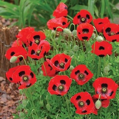 SHIRLEY POPPY MIX Annual Flower Papaver rhoeas ENGLISH POPPY  23 000 SEEDS
