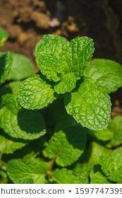 Thai Peppermint Kitchen Mint Marsh Mint Mentha Villosa Huds Metha cordifolia Opiz Labiatae Menthol Limonene Neomenthol