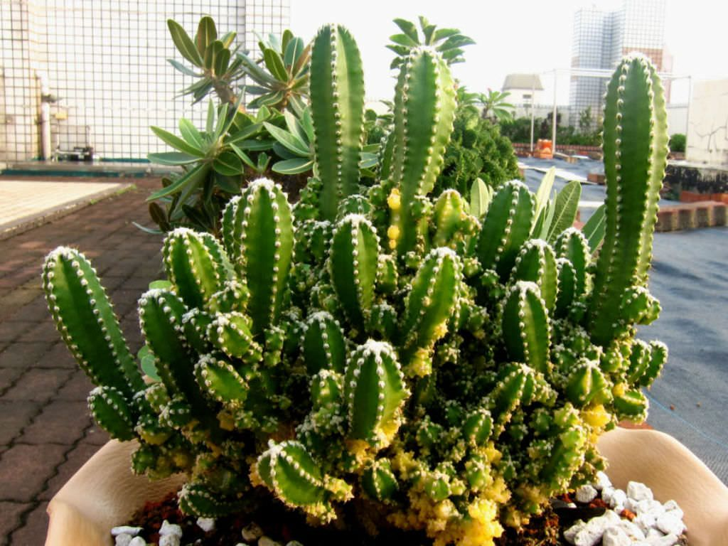 Acanthocereus Tetragonus Fairy Castle F Variegata World Of Succulents Fairy Castle Cactus Cactus Types Planting Succulents