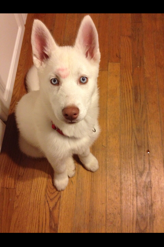 2a6f3010 Kiss Kiss..... heart my puppy Winter. White husky blue eyes liver nose.