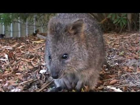 Quokkas; the happiest, friendliest animal on Earth. Oh my