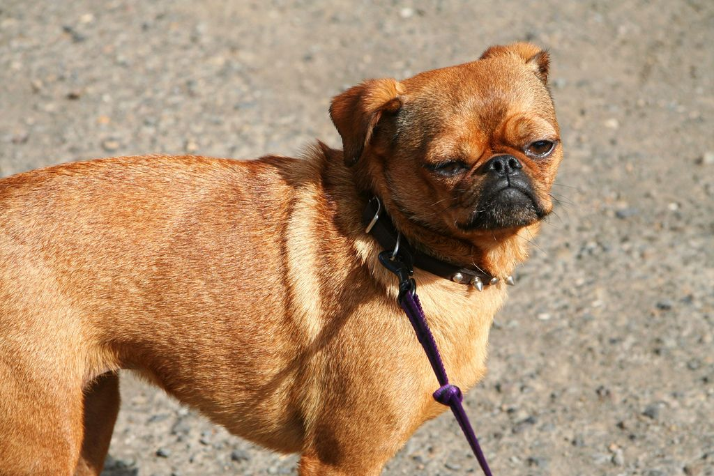 All Mixed Cat Breeds Mixcoco The Pug Chihuahua Mix Mix Breed