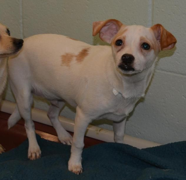 Adopt Everette On Dog Adoption Chihuahua Dogs Dogs