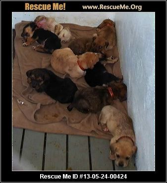 9 Young Lab Mix Puppies Anniston Al Alabama Mutt Rescue Adoptions Rescueme Org Lab Mix Puppies Dog Adoption Rescue Dogs
