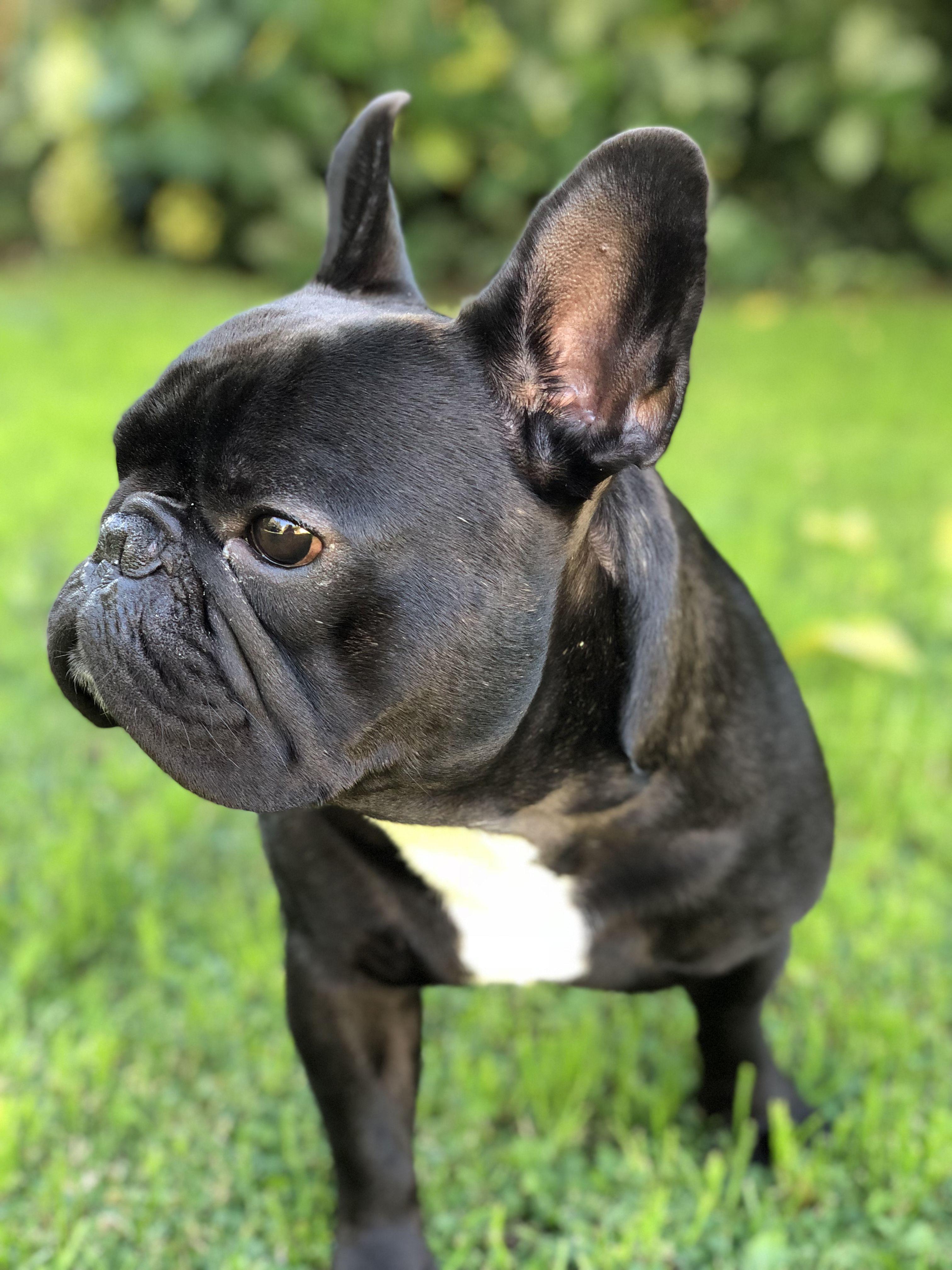 French bulldog cute animals bulldog