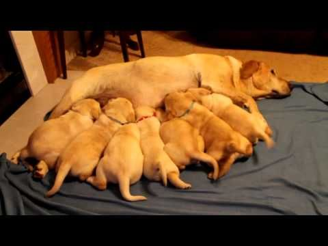 5 Week Old Labrador Retriever Puppies Nursing Labrador