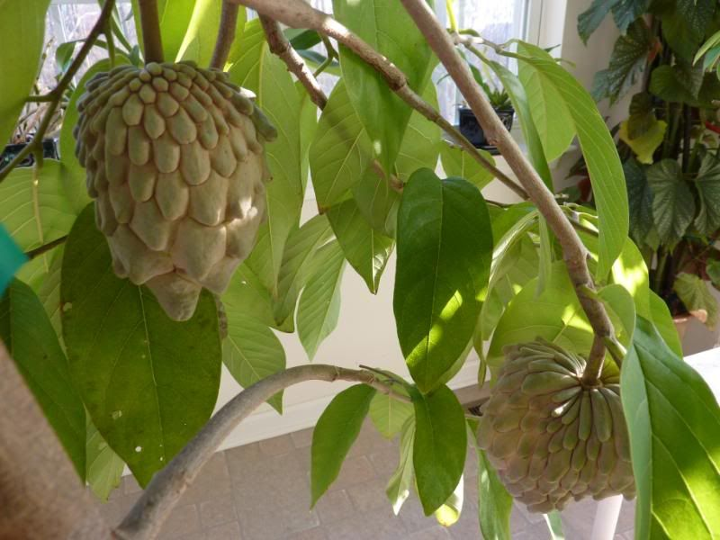 Update Of Tropical Fruit Trees Fruits Forum
