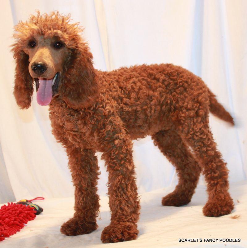 Red Moyenklein Poodle Akc Poodle Moyen Poodle Red
