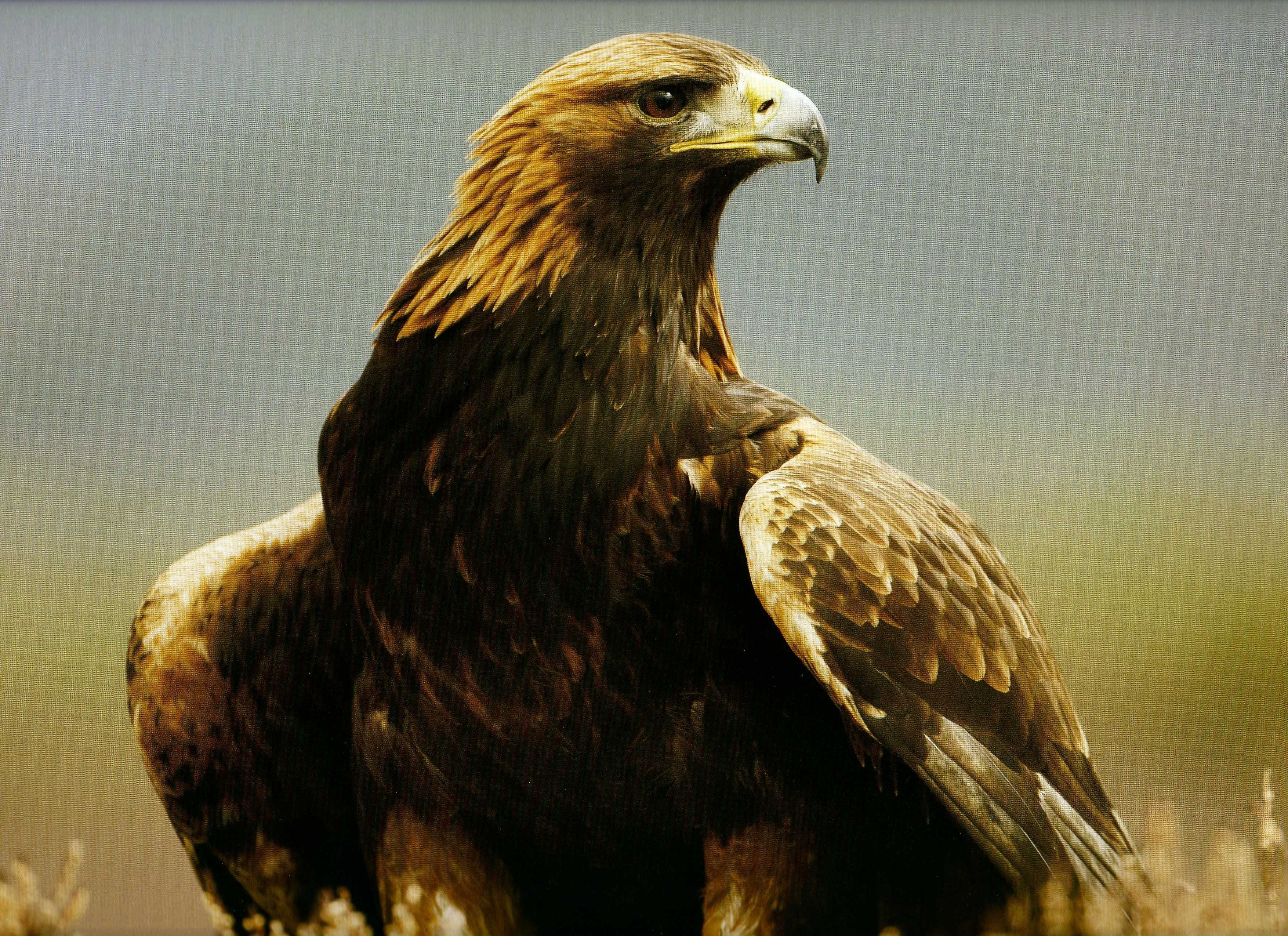 The Golden Eagle symbolized the soul, as well as the power of life over death, for the ancient Celts. Now almost extinct in Britain; this magnificent bird is seldom seen except in the north of Scotland. Scottish Highland Chieftains still wear three golden-eagle feathers in their bonnets to proclaim their rank. Source: http://www.mysticalmind.com/Shadows/ezine/celtic/CLZBirch.htm