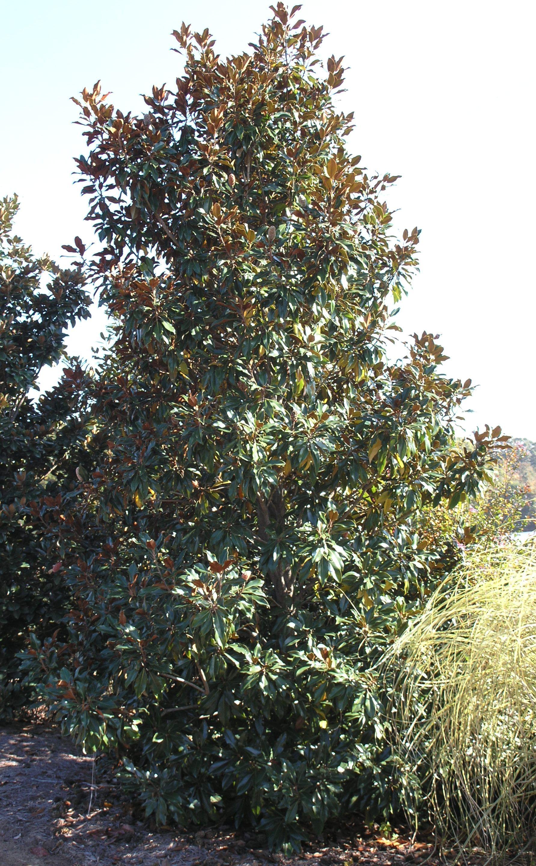 Kay Parris Magnolia Monrovia Kay Parris Magnolia With Images Monrovia Plants Plants Trees To Plant