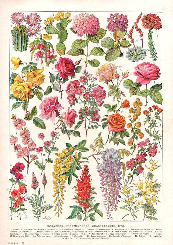 Antique French Flowers Chart Digital Download Image Botanical Vintage High Resolution Illustration Art To Print French Flowers Flower Illustration Flower Art
