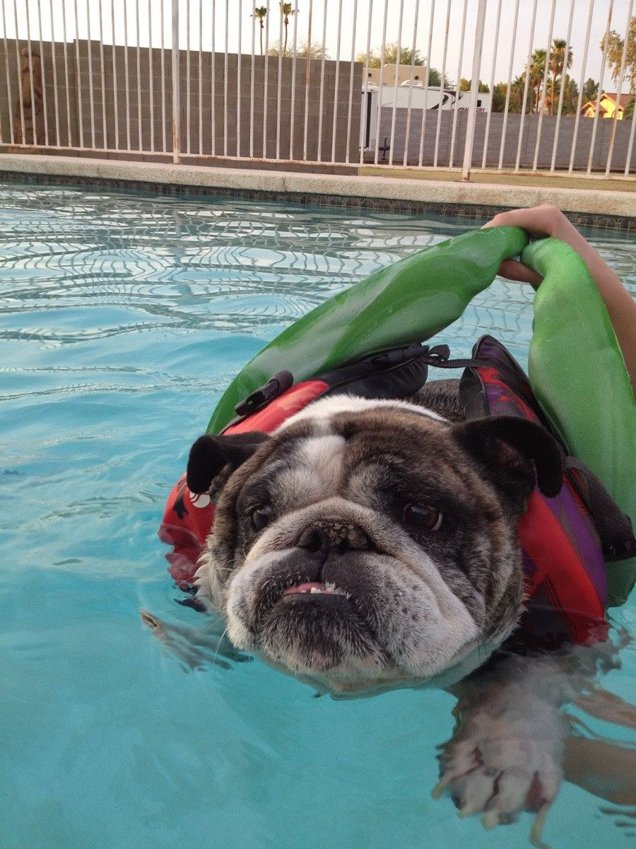 My girlfriends bulldog is terrified to swim even with a