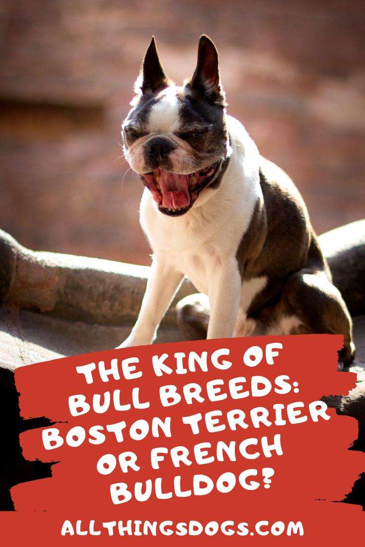 The King Of Bull Breeds: The French Bulldog Vs Boston ...