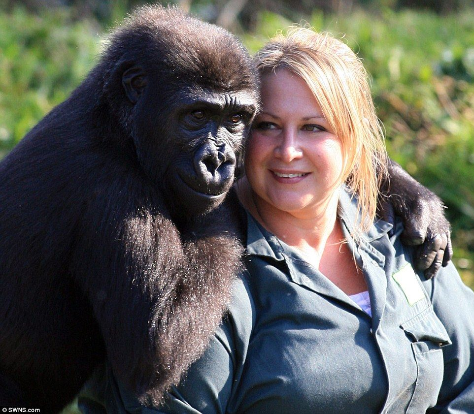 Mother: Kera the Western Lowland gorilla is pictured with keeper Mel Gage when she arrived at Bristol Zoo in 2008