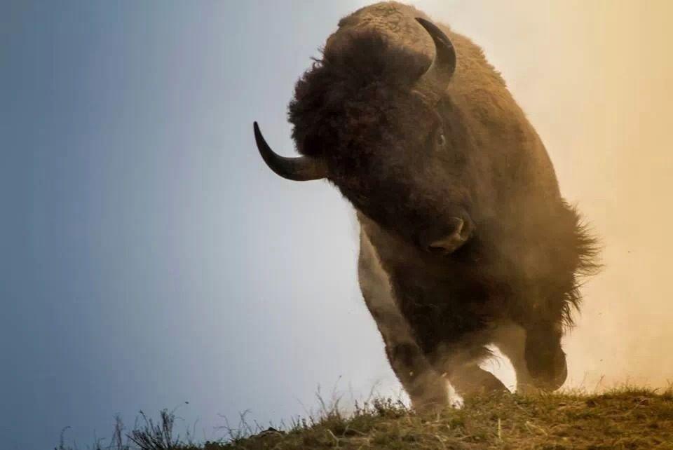 Bison Charging Buffalo   ++Bovidae: A...