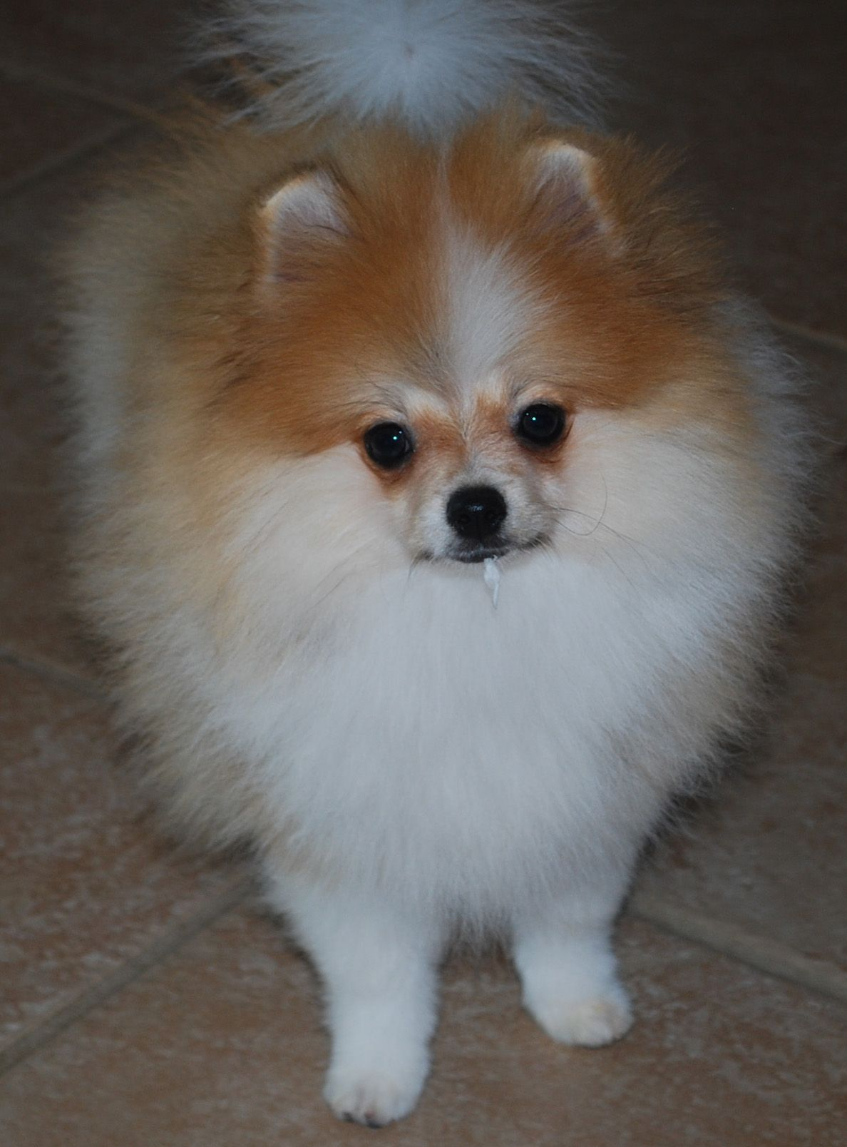 Pomeranian Puppy Uglies & Color Changes Pomeranian puppy