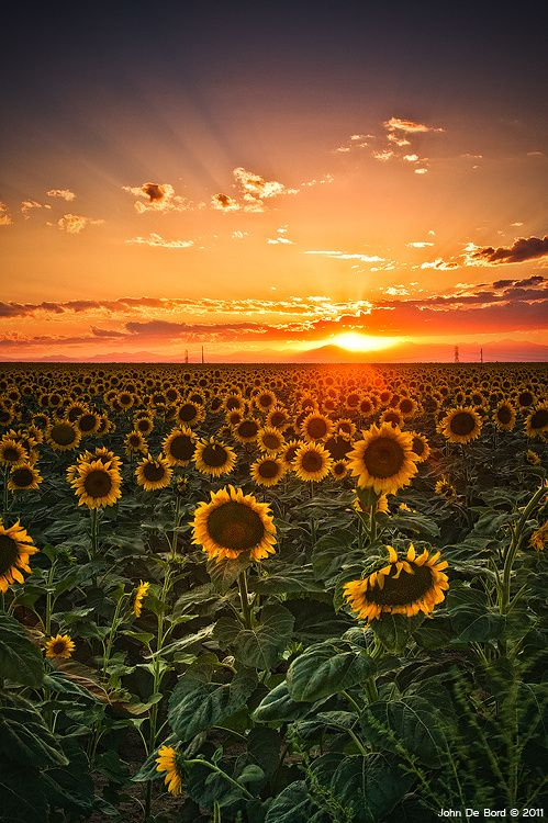 Light Of The Plains by John De Bord Photography #sunflower #ひまわり