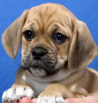 Puggle Pictures Full Grown Google Search Puggle Puppies