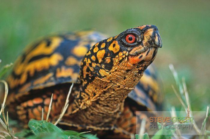 sg-073.jpg   New Jersey photography   Tortoise turtle, Box ...