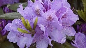 Bildresultat för rhododendron