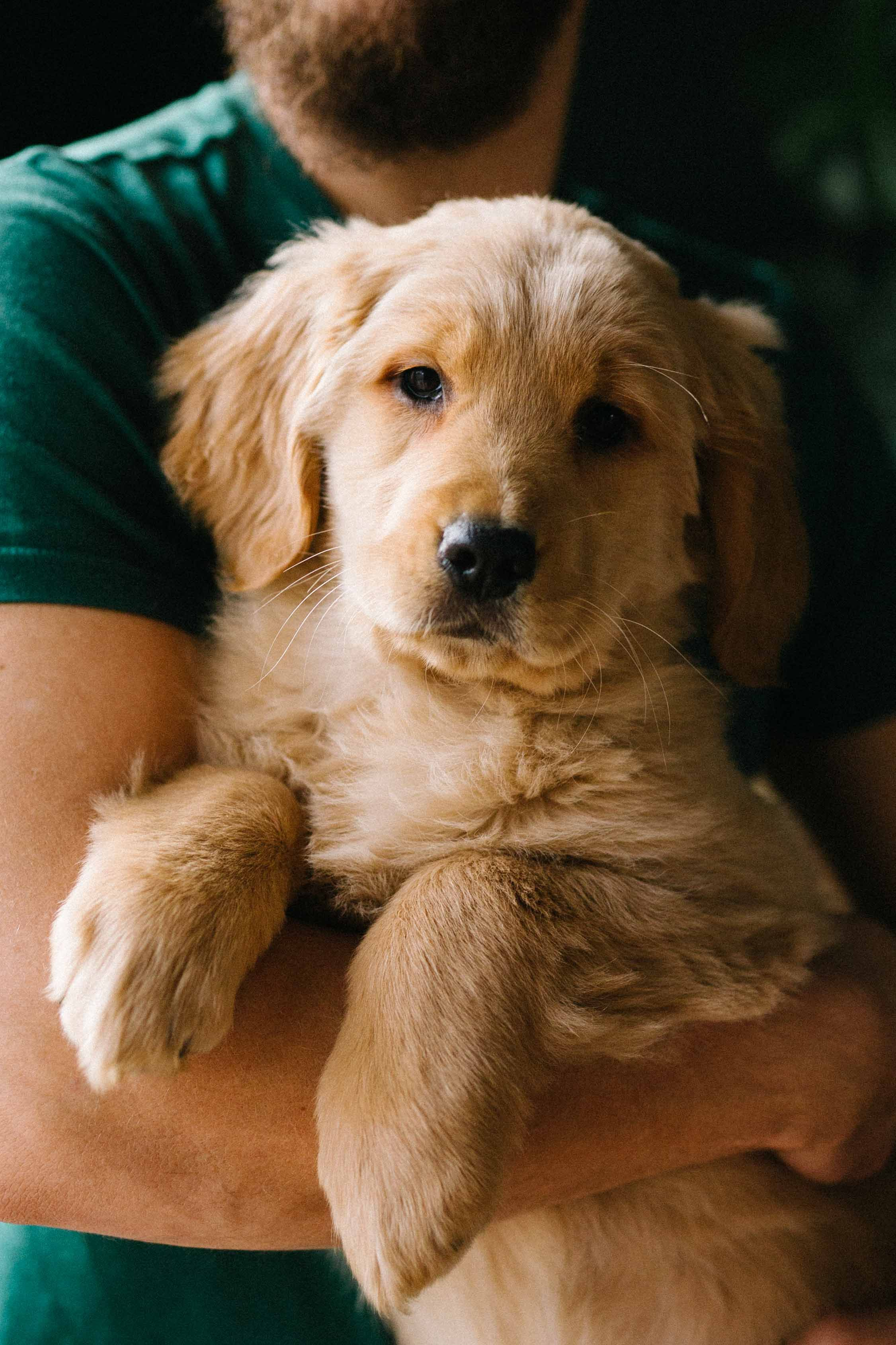 GoldenLove 😘💓 Goldens are Outgoing, Trustworthy, and