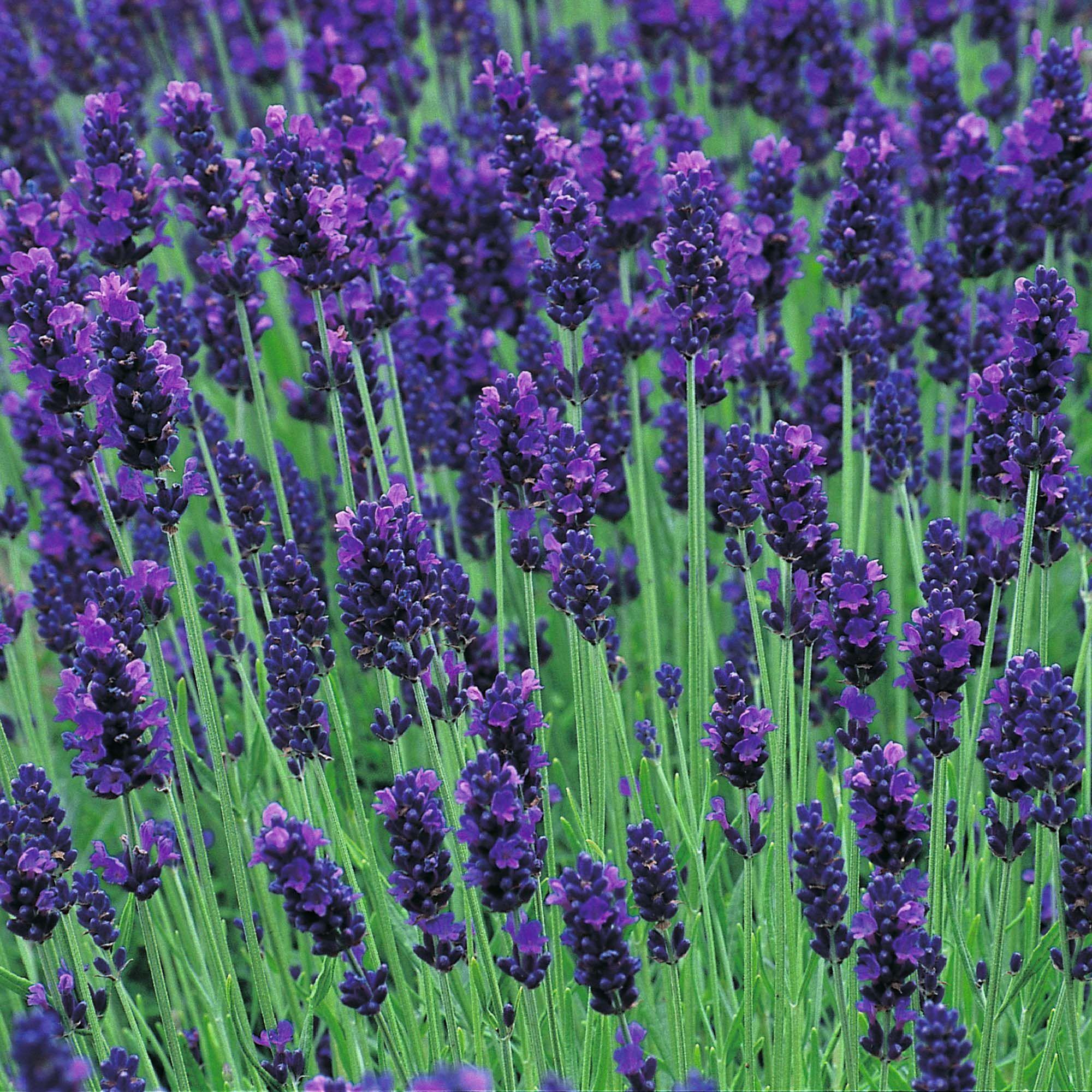 lavandula angustifolia hidcote blue lavande hidcote blue savez vous planter des choux. Black Bedroom Furniture Sets. Home Design Ideas