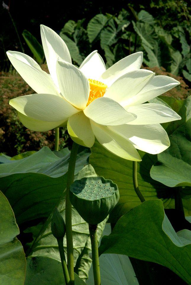 Lotus Sacré Alba Grandiflora Nelumbo Nucifera Alba Grandiflora