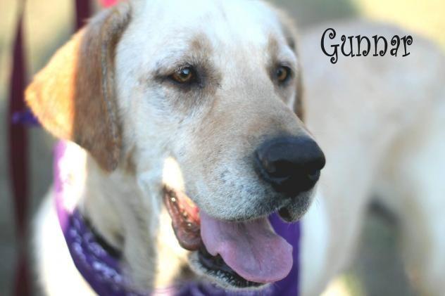 Adopt Gunner on Rescue dogs, Dogs golden retriever, Adoption