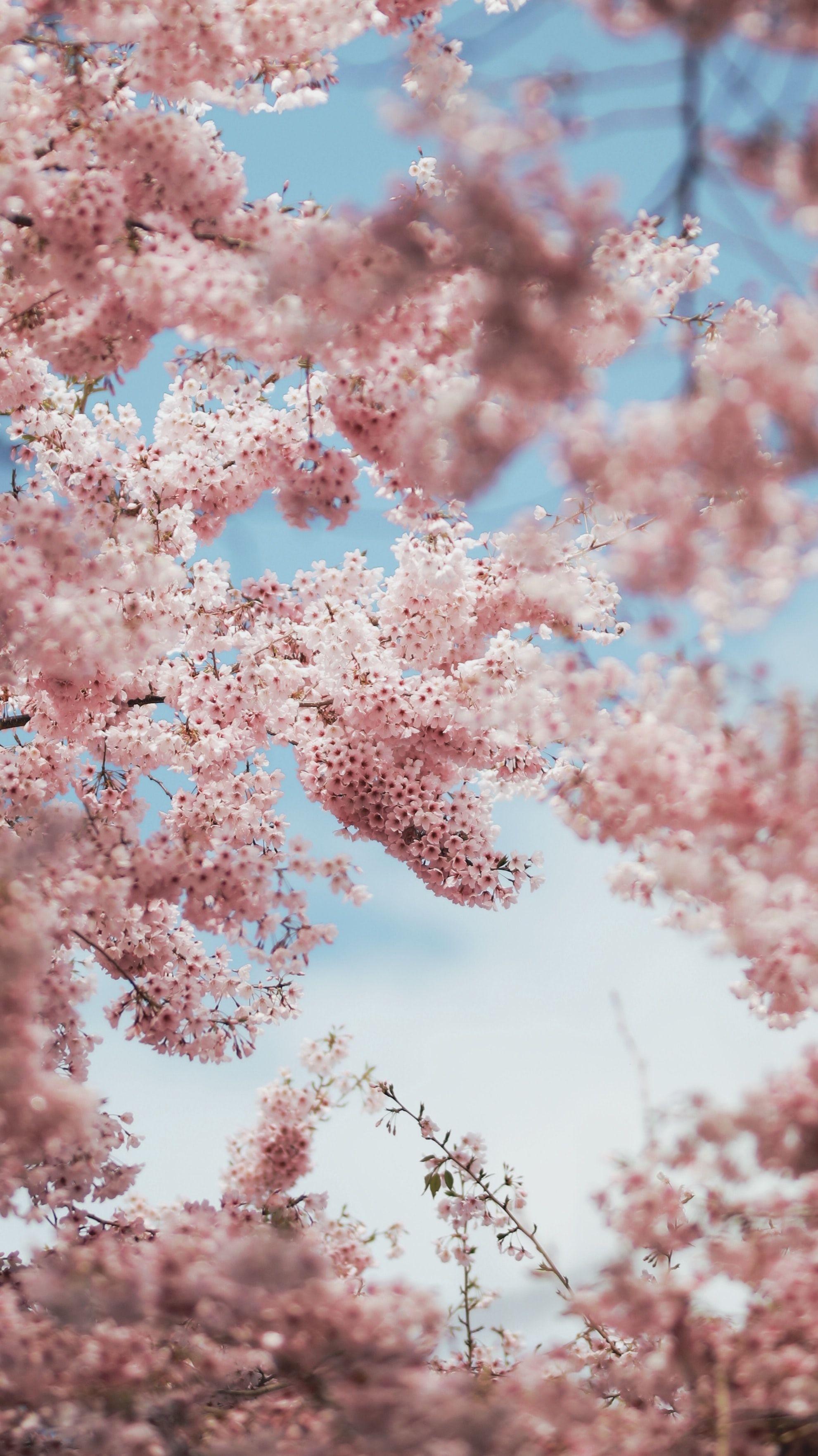 Blossom Cherry Blossom Plant Selective Focus Photography Selective Focus Photography Of Pi Cherry Blossom Wallpaper Cherry Blossom Pictures Pink Trees