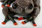 Las ranas de torrente habitan en los arroyos de los bosques nublados de los Andes tropicales. Muchas especies, como la mostrada en esta fotografía, están en peligro de extinción. Alrededores de Papallacta, Provincia del Napo, Hyloscirtus lindae. Anfibios