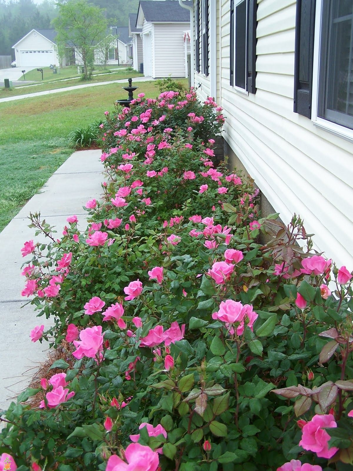 Pink Double Knock Out® Rose Knockout roses, Double