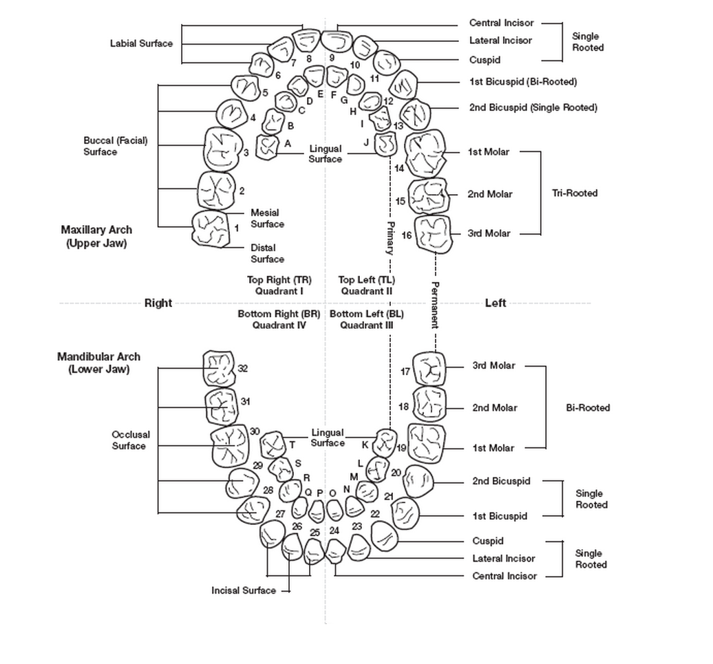 diagram of mouth with teeth numbers 1996 jeep cherokee headlight wiring american tooth numbering system dental education