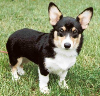black brown and white corgis kcs dog ecards welsh