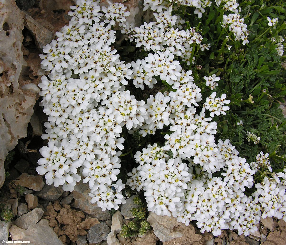 Iberis sempervirens - click to enlarge   Gardening   Pinterest 230cdff113
