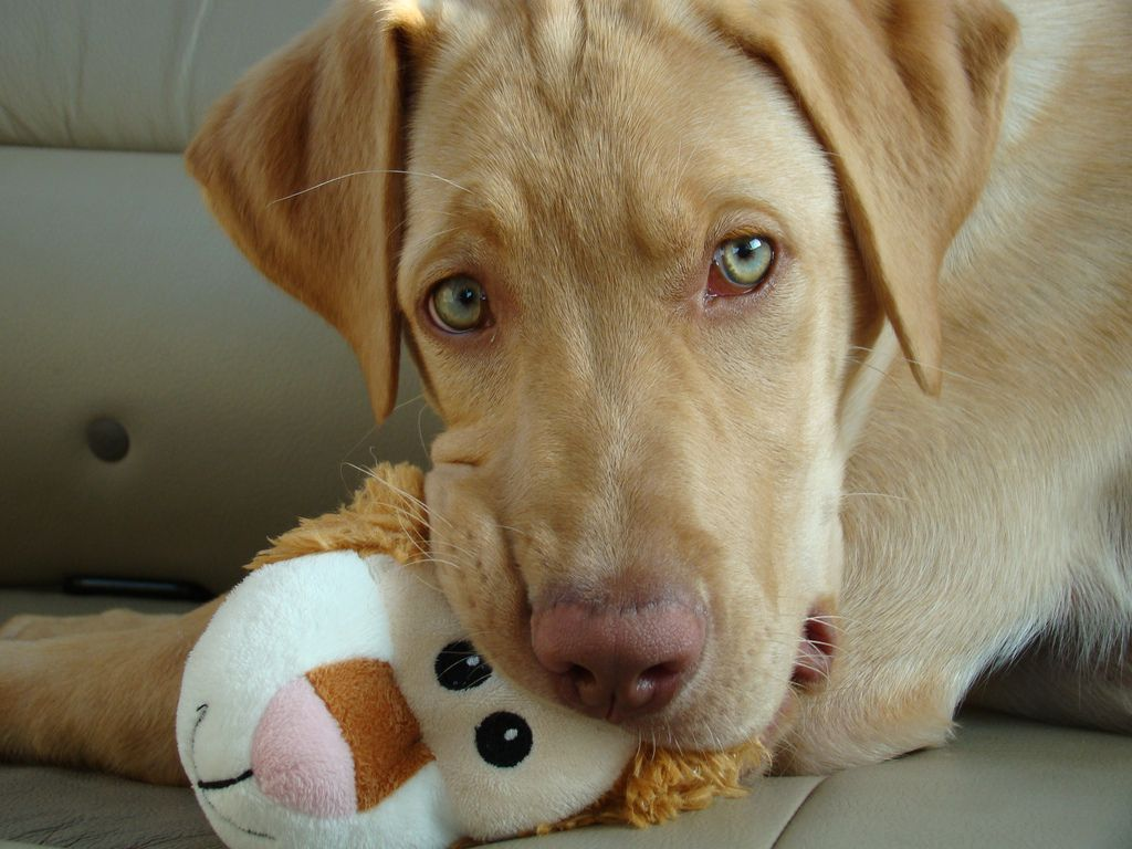 Mismark Case Study Labrador Retriever Yellow Lab Puppies