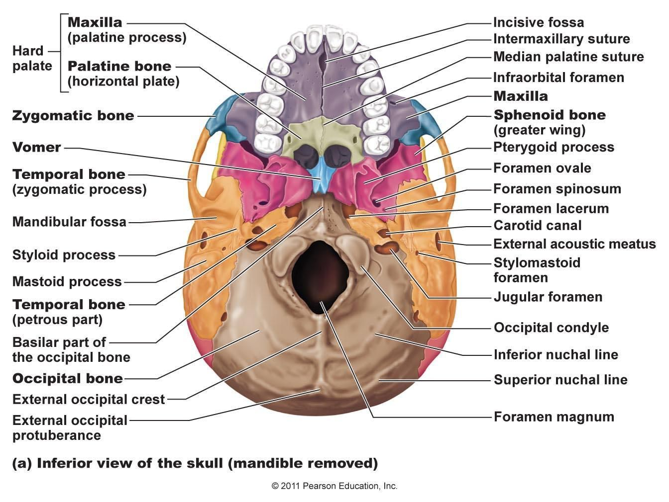 Skeletal Bones From Head To Toe